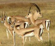 Grant gazelle