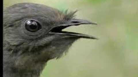Amazing! Bird sounds from the lyre bird - David Attenborough - BBC wildlife-1