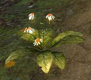 ConchinisPflanze.jpg