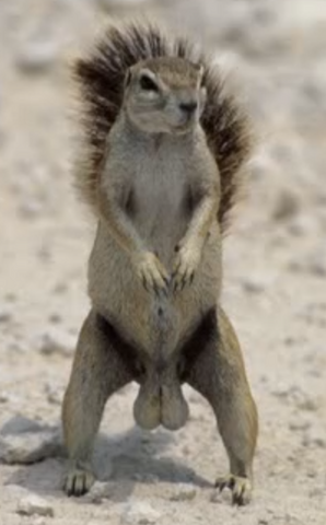 File:Live Action Squirrel With Big Balls.png