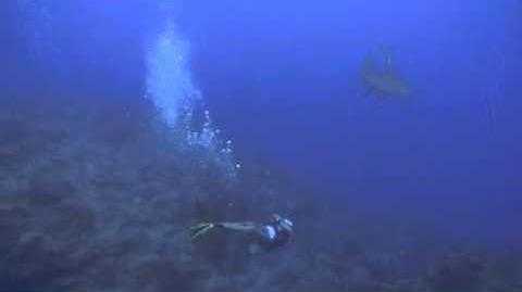 Hammerhead diving the north wall of Grand Cayman video