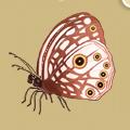 Coll butterflies satyrid