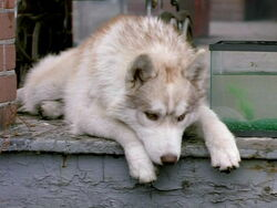 Diefenbaker Wolf