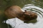 Wikia DARP - Capybara