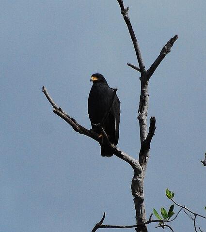 File:Mangrove Black Hawk.jpg