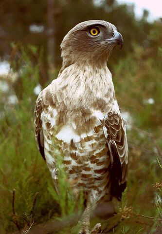 File:Short-toed Eagle.jpg