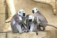 Green-monkeys-112275 640