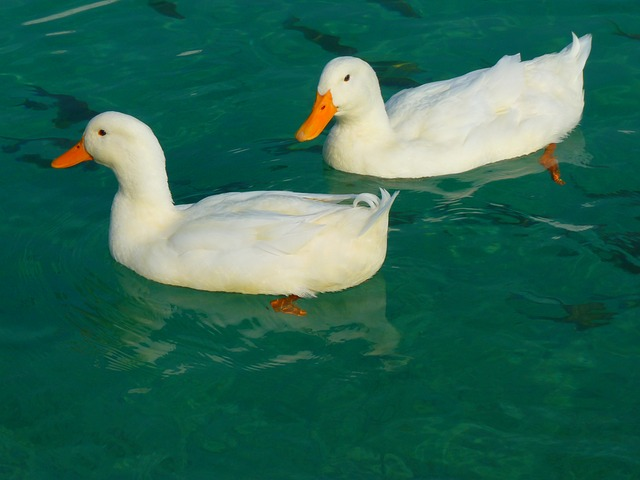 File:Duck-15026 640.jpg