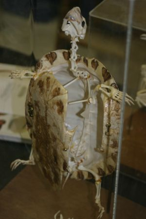 File:Turtle skeleton.jpg