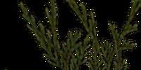 Chokeweed