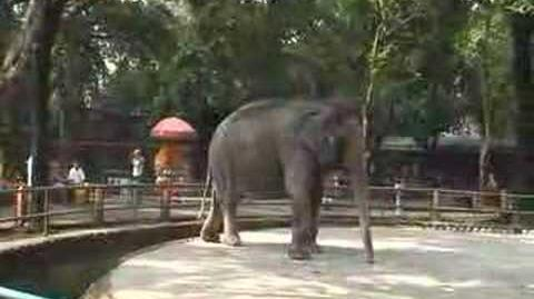 Elephant in Manila Zoo