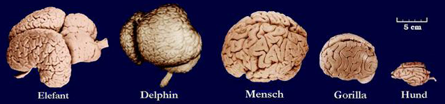 Datei:Gehirn.png