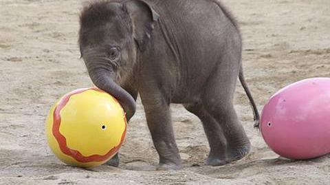 Elefantenbaby Jamuna Toni - 1. Freigang im Tierpark Hellabrunn