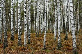 Birch Siberia