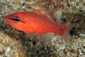 Cardinal fish 1