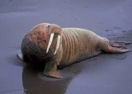 File:Walrus.jpg