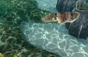 Broad club cuttlefish