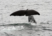 Tail Shot Rear - Sperm Whale Kaikoura NZ