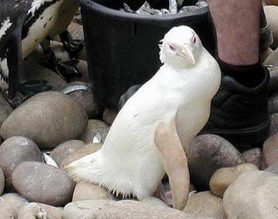 File:Albino Penguin3.jpg