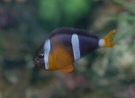EO2YellowtailClownfish