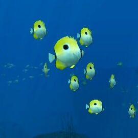 EO2TeardropButterflyfish
