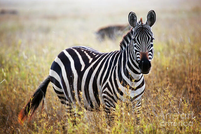 File:10 Zebra.jpg