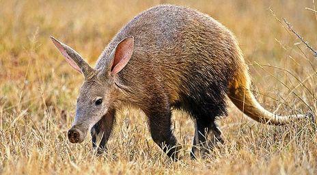 File:22 Aardvark.png