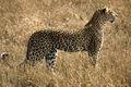 16 Dhulkarian Leopards.jpg