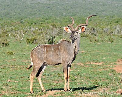 File:7 Bighorn Antelope.jpg