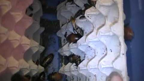 Madagascar Hissing Cockroach Breeder Colony