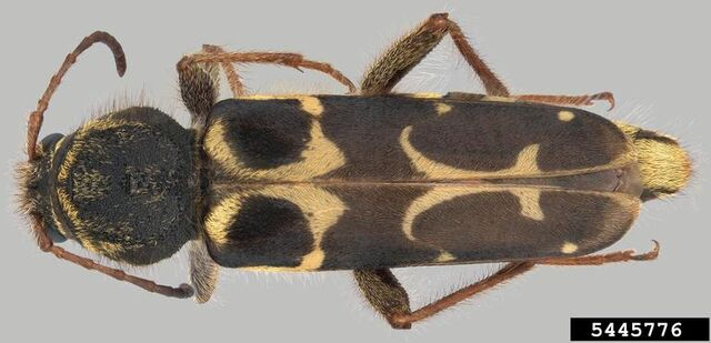 File:Neoclytus conjunctus.jpg
