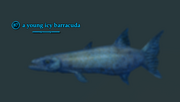 A young icy barracuda