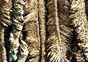 800px-Basma-tobacco-drying