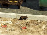 Foto de una rata (3)