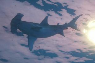 Archivo:Tiburon martillo.png
