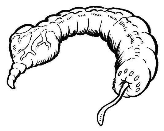 Archivo:Larva de cola-corazón.jpg