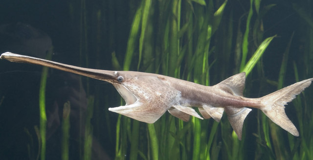 File:Chinese-paddlefish.png