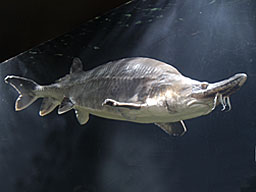 File:Beluga sturgeon.jpg