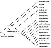 Proetinae cladogram