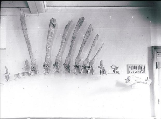File:Spinosaurus - 5(Holotype).jpg