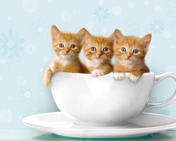 File:Teacup-kittens2.jpg