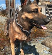 Chained dog collar worn