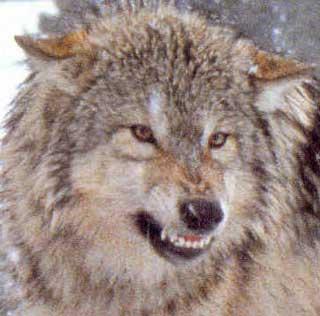 File:Silver wolf.jpg