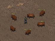 Fo1 Talking Cows