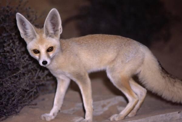 File:Ruppell fox.jpg