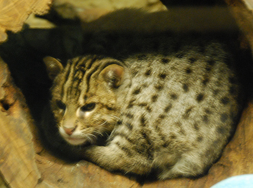 File:Fishing Cat kitten.jpg