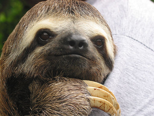File:Sloth in the Amazon.jpg