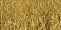 Wheat (Farming Simulator 2013)