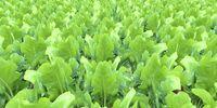 Sugar Beet (Farming Simulator 2013)