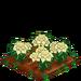 White Poinsettia 100